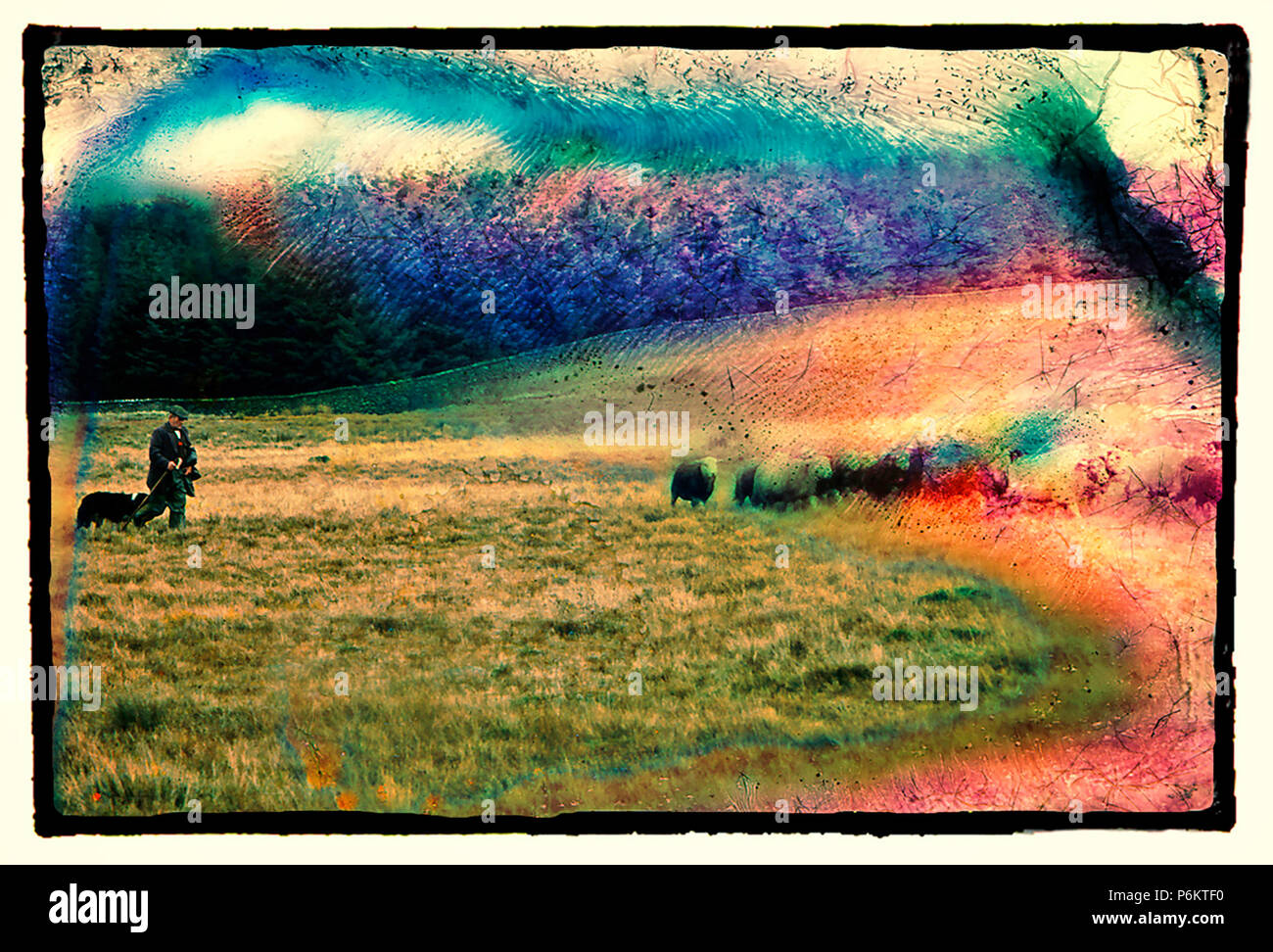 Black edged boarder image with a manipulated and cross processed transparency image showing a shepherd and his dog walking across towards his sheep - Stock Image