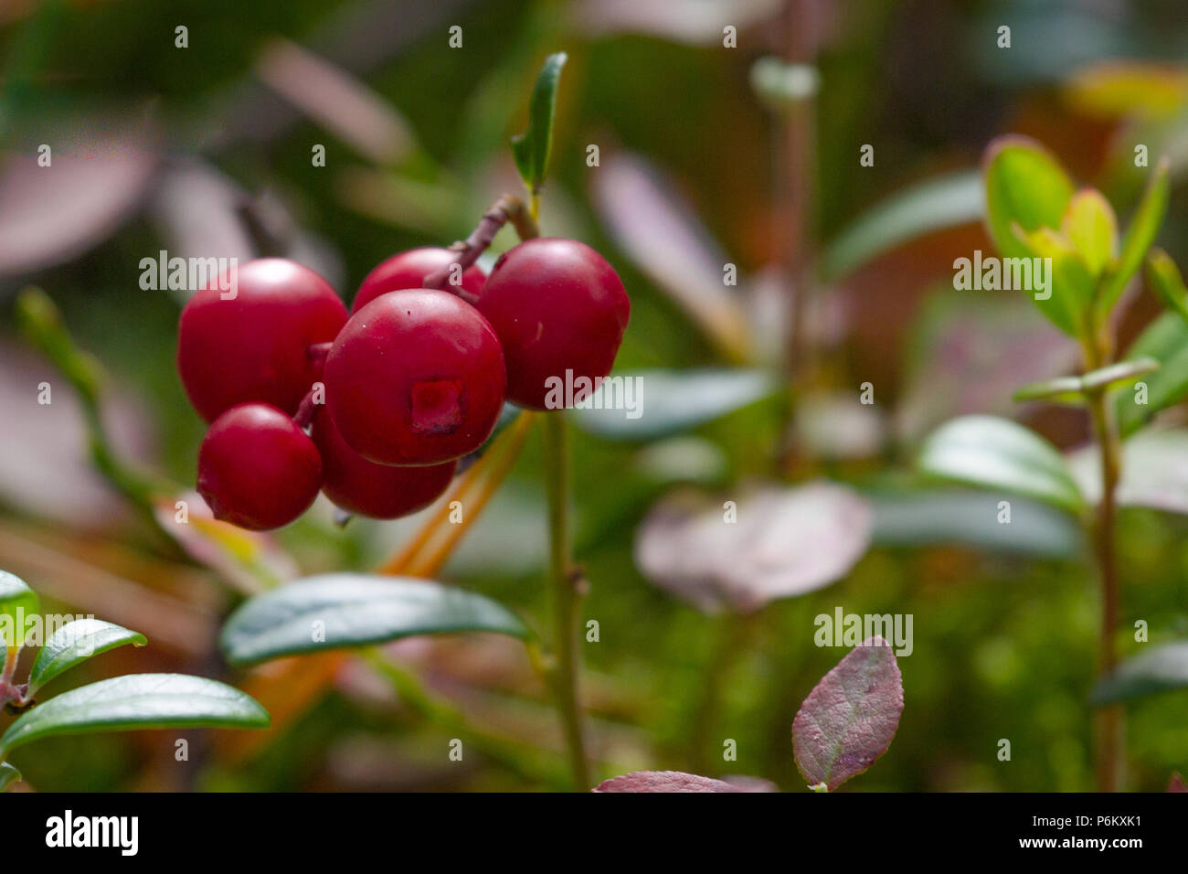 Red berries of cranberries in late summer at the Sumy region in Ukraine dwarf - Stock Image