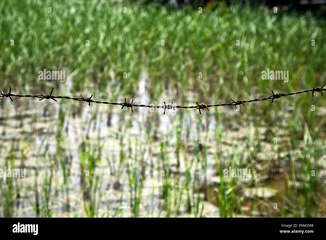 Barbed wire marks boundry of rice field. Abstract images and close ups of everyday life in the world - Stock Image