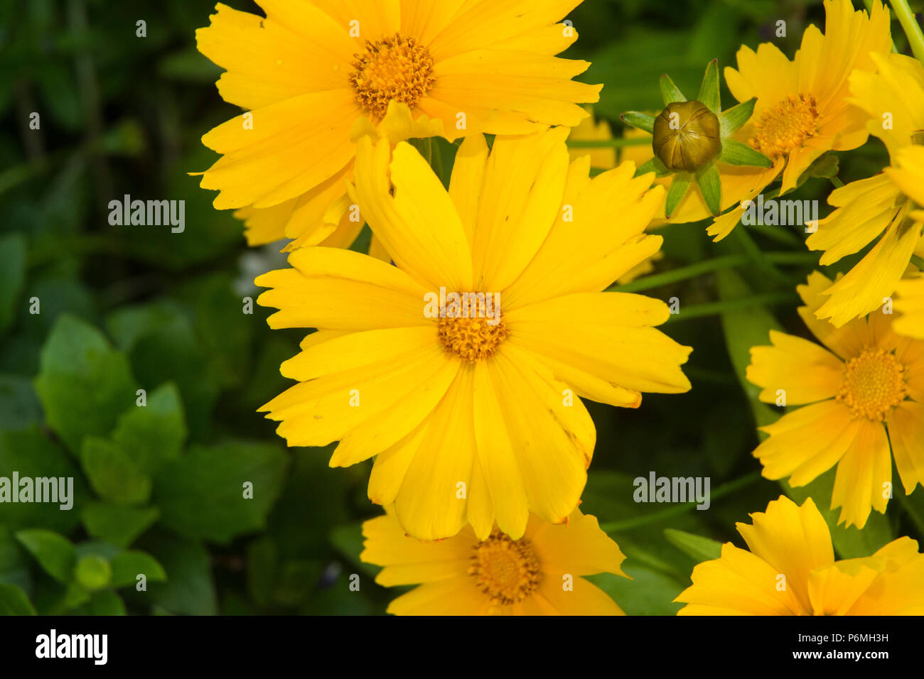 Bursting with yellow color is dynamic. - Stock Image