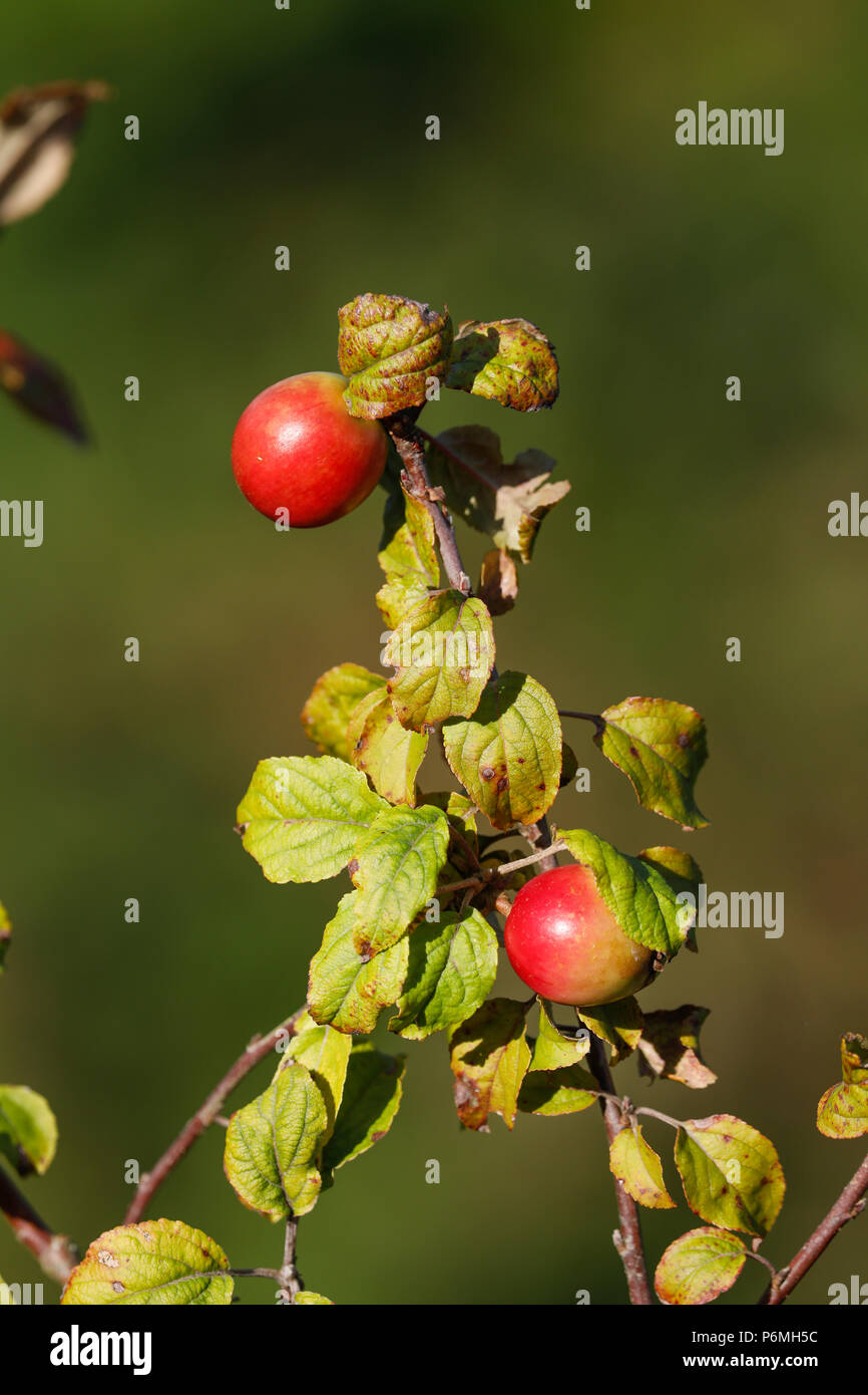 Crab Apples; Fruit in Autumn; Cornwall; UK - Stock Image