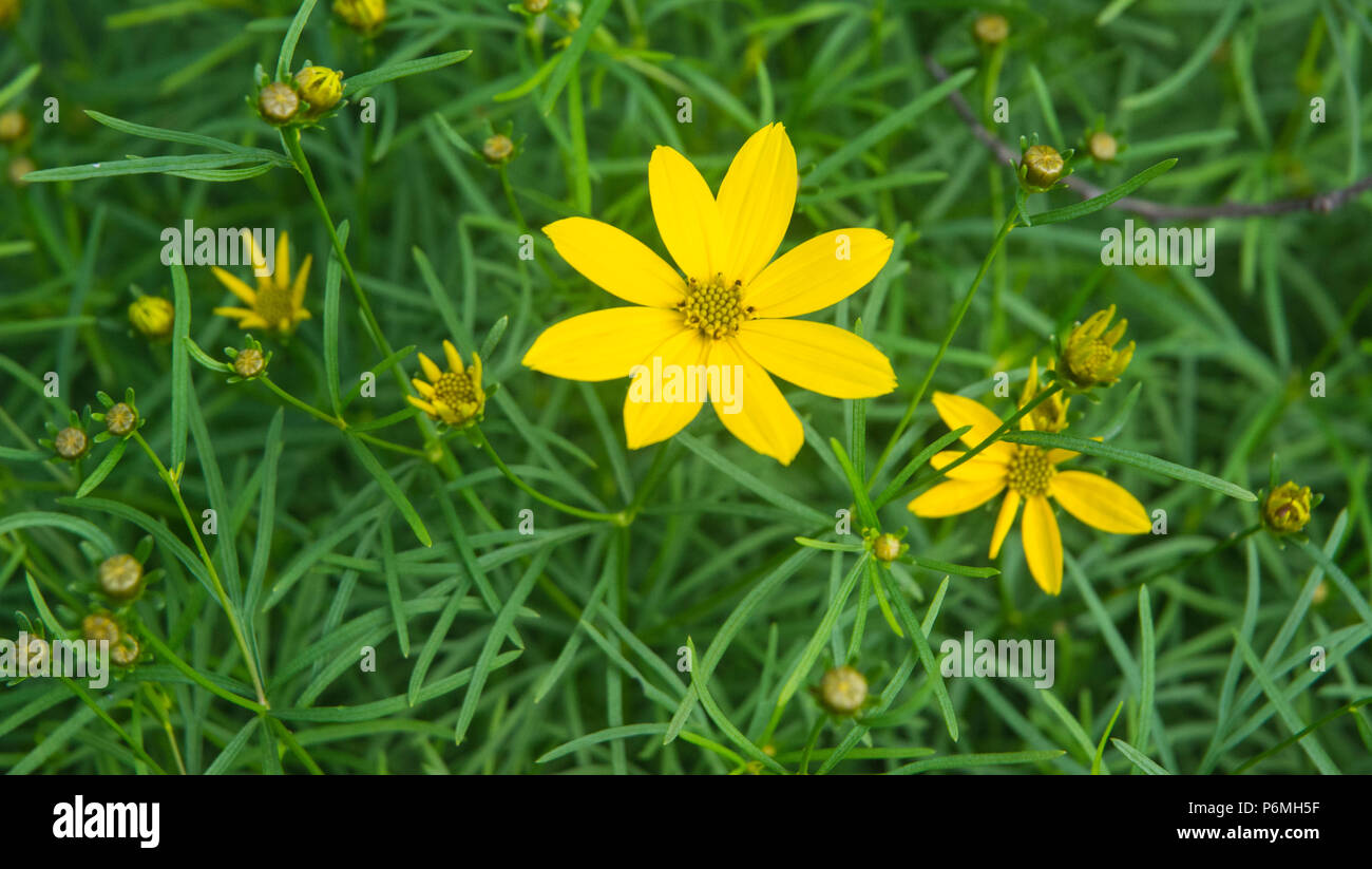 Dainty yellow flowers are numerous on this plant. - Stock Image