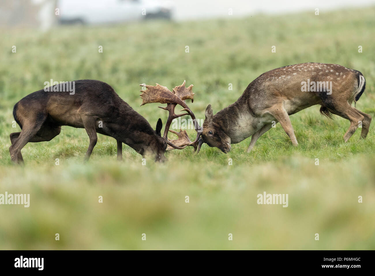 Fallow Deer; Dama dama Two; Bucks Rutting;  London; UK - Stock Image