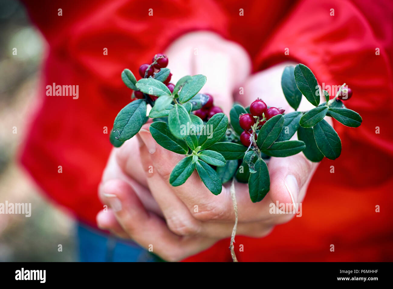 Cowberries twigs with berries and leaves in the woman hands. Close-up. - Stock Image