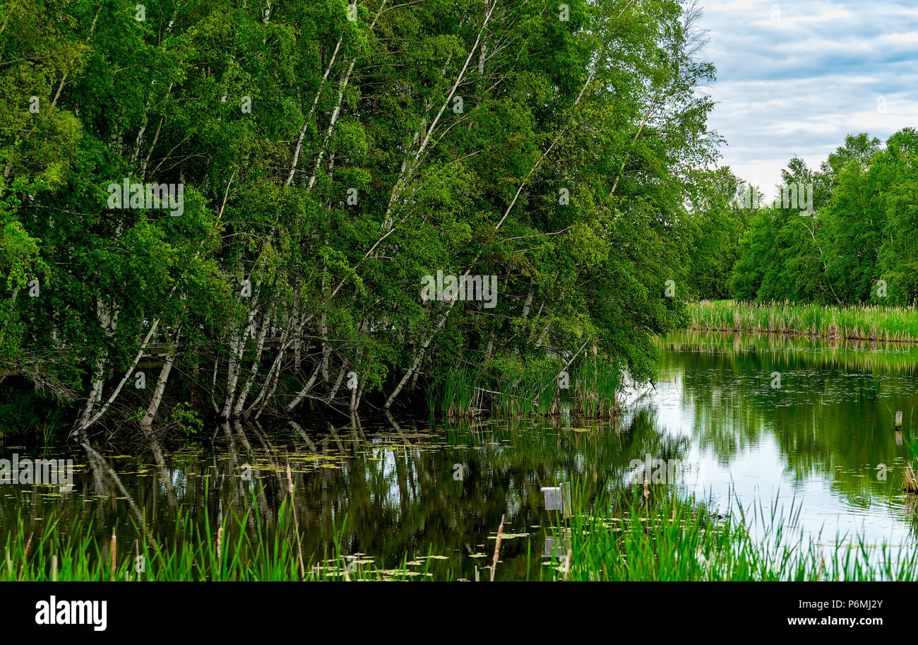 Birch trees along the river at the Sackville Waterfowl Park in Sackville, New Brunswick, Canada. - Stock Image