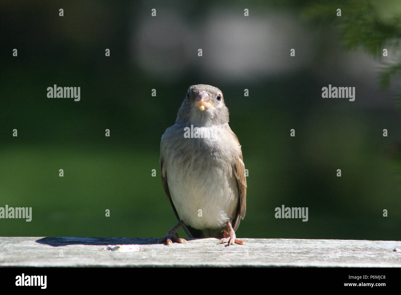 Passer domesticus (House Sparrow) Stock Photo