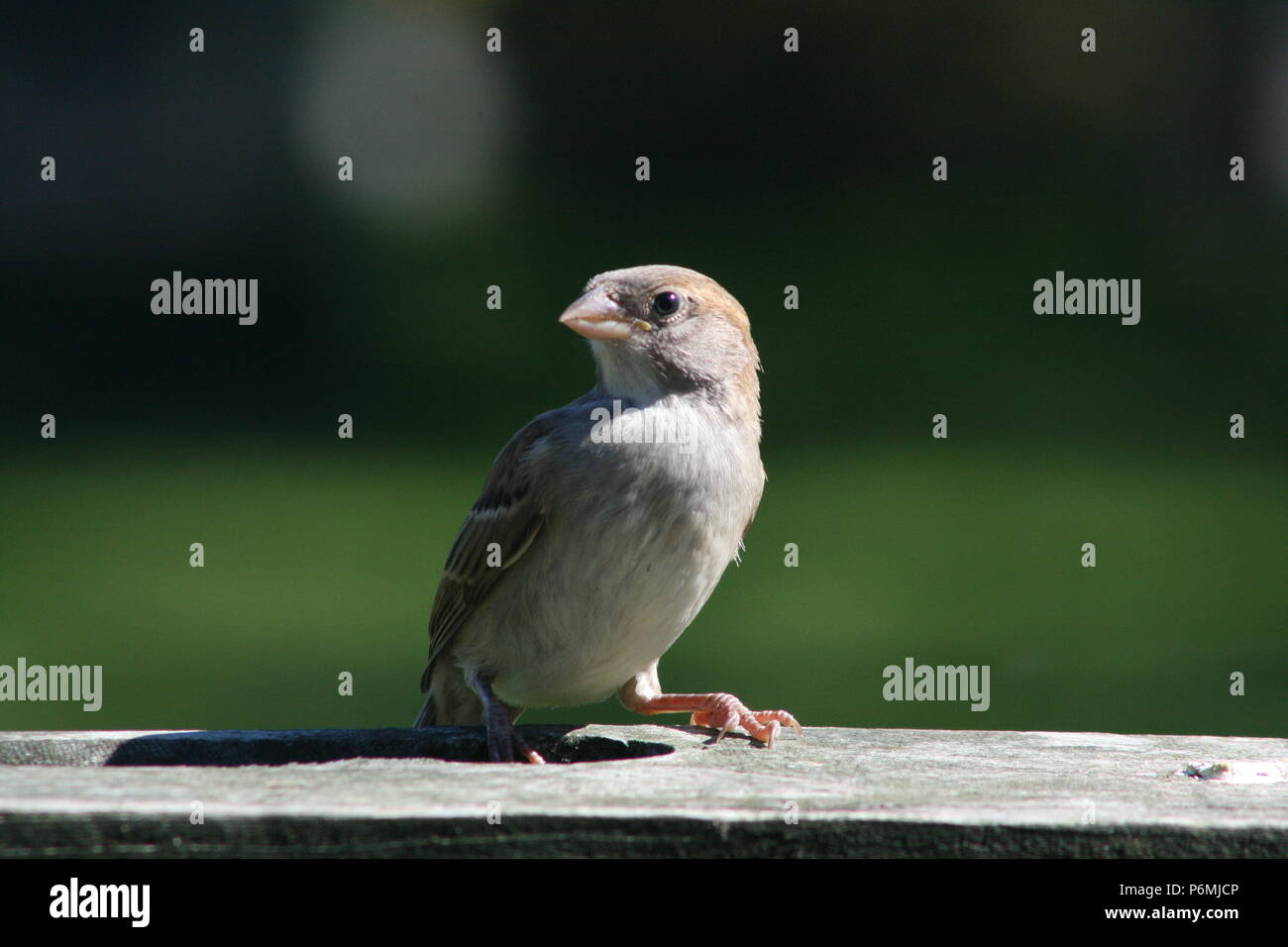 Passer domesticus (House Sparrow) - Stock Image