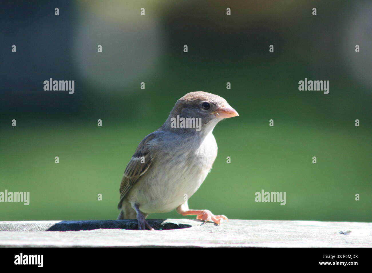 Passer domesticus (House Sparrow) Stock Photo