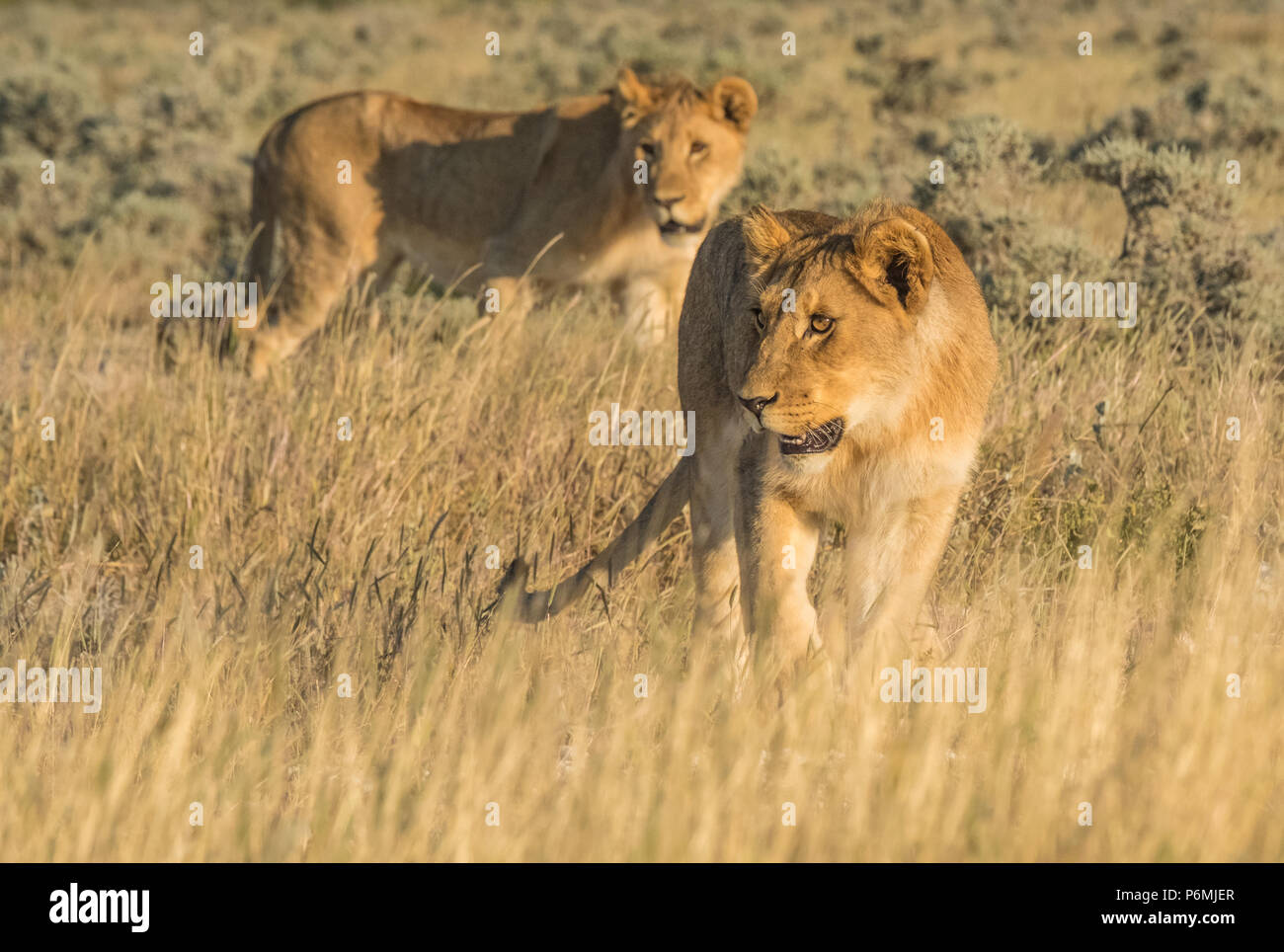 Lions stocking prey, Nebrownii waterhole, Okaukeujo, Etosha National Park, Namibia - Stock Image
