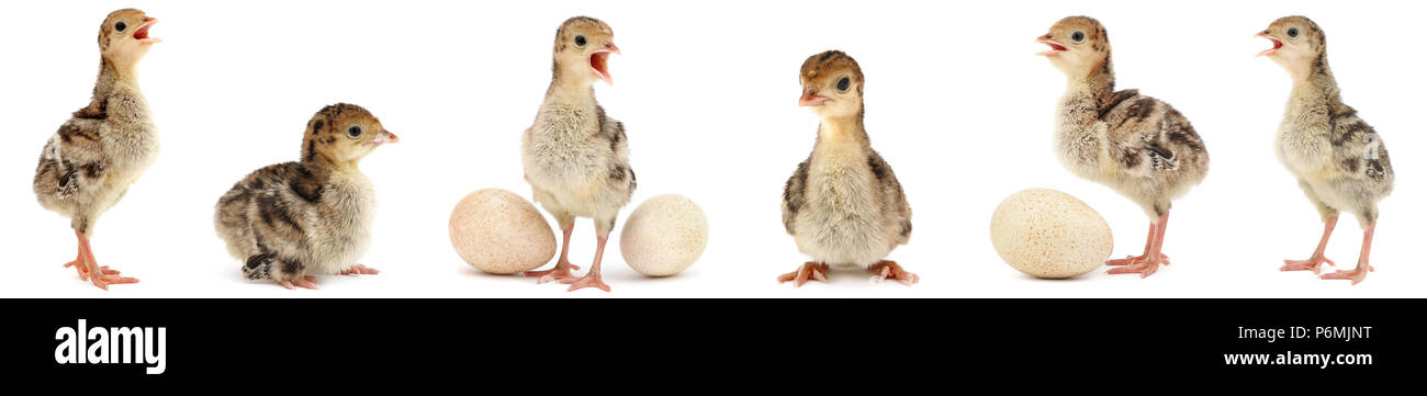 Set cute fluffy chickens turkey isolated on white background - Stock Image