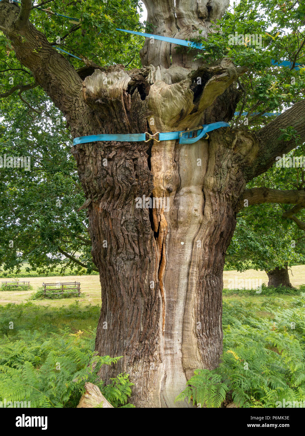 Heavy duty nylon webbing straps being used to protect old Oak tree from splitting in Bradgate Park, Leicestershire, England, UK - Stock Image