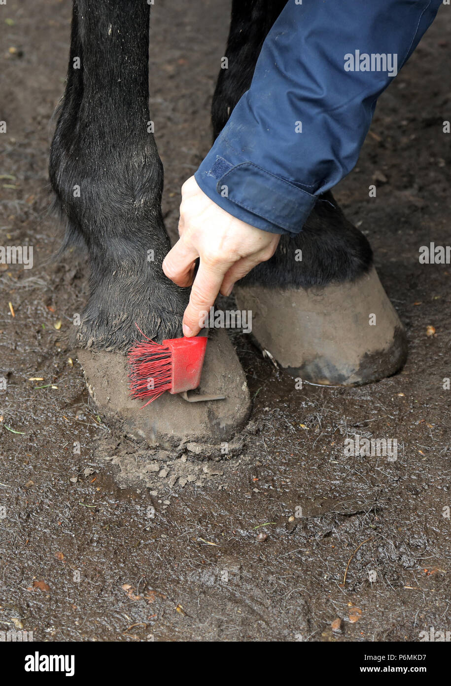 Melbeck, Barhoof is freed from dirt with a hoof scraper - Stock Image