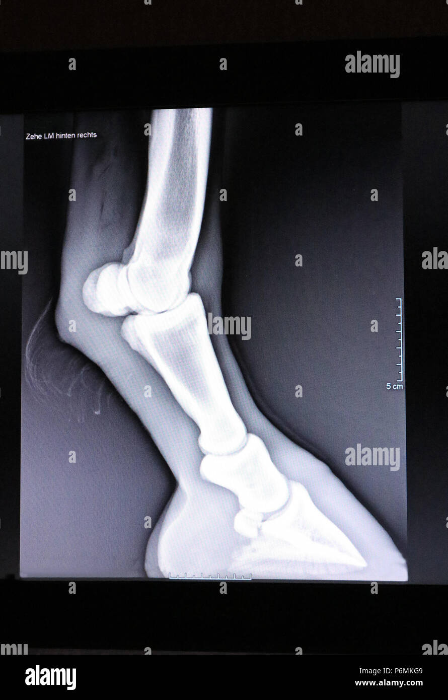 Melbeck, Roentgen picture of hoof joint and fetlock joint - Stock Image