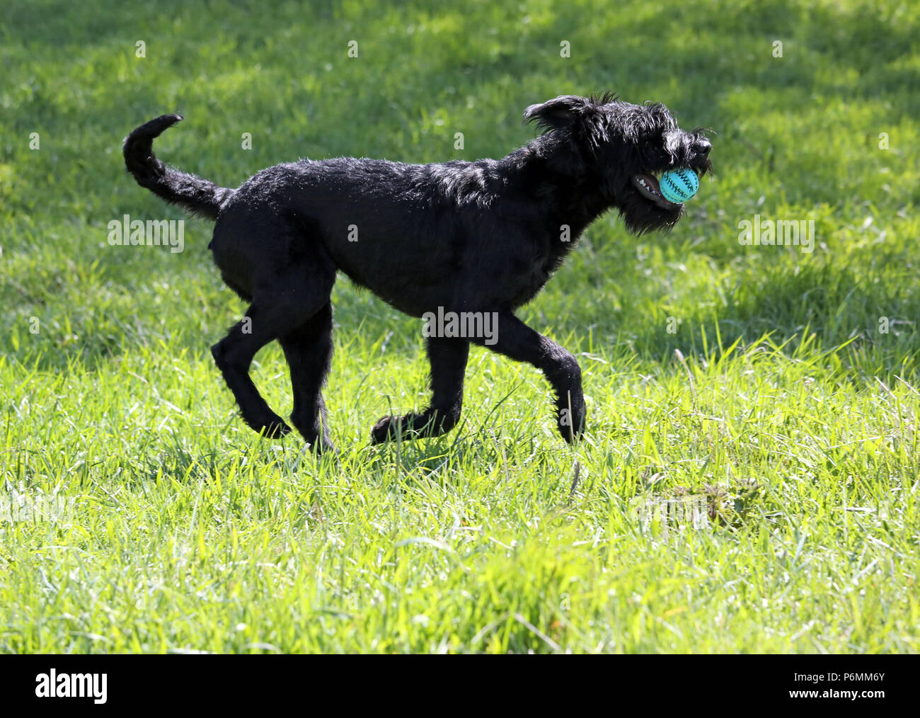 Graditz, Germany - Riesenschnauzer retrieves a ball - Stock Image