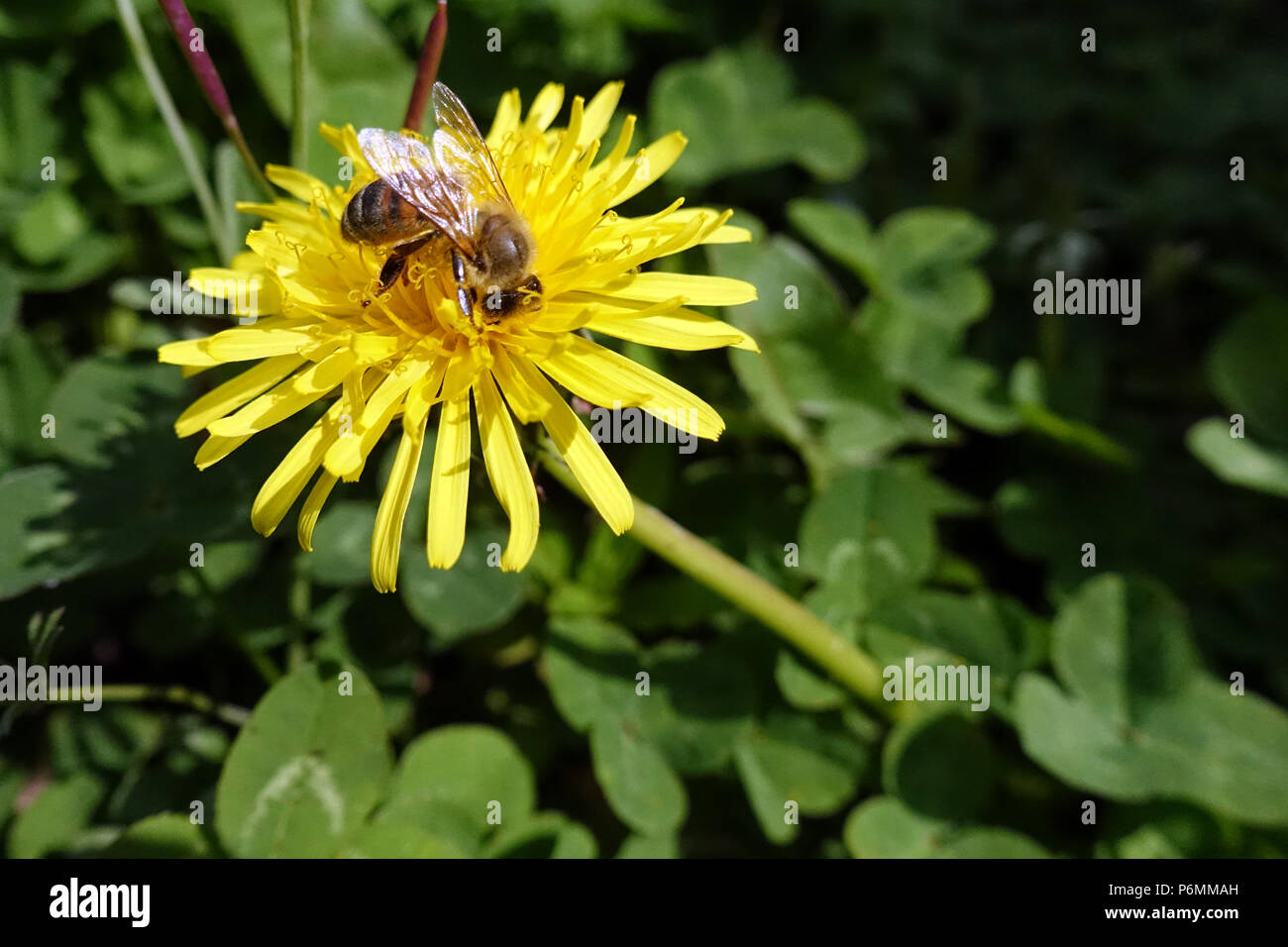 Berlin, Germany, bee collects nectar from a lewenzahnbluete - Stock Image