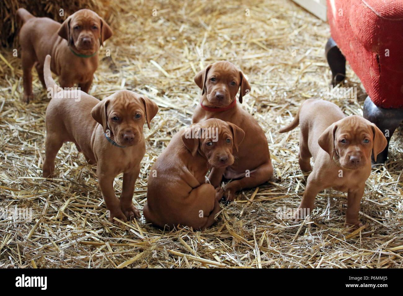 Neuenhagen, Germany, Magyar Vizsla Dog Puppies - Stock Image
