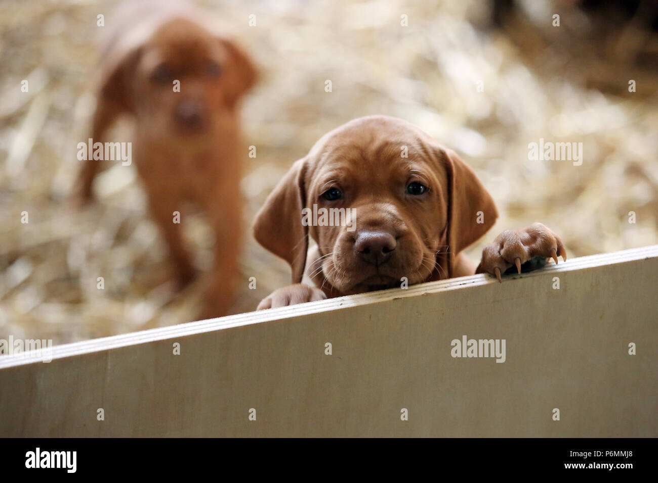 Neuenhagen, Germany, Magyar Vizsla Hundewelpe looks curiously out of a throwing box - Stock Image