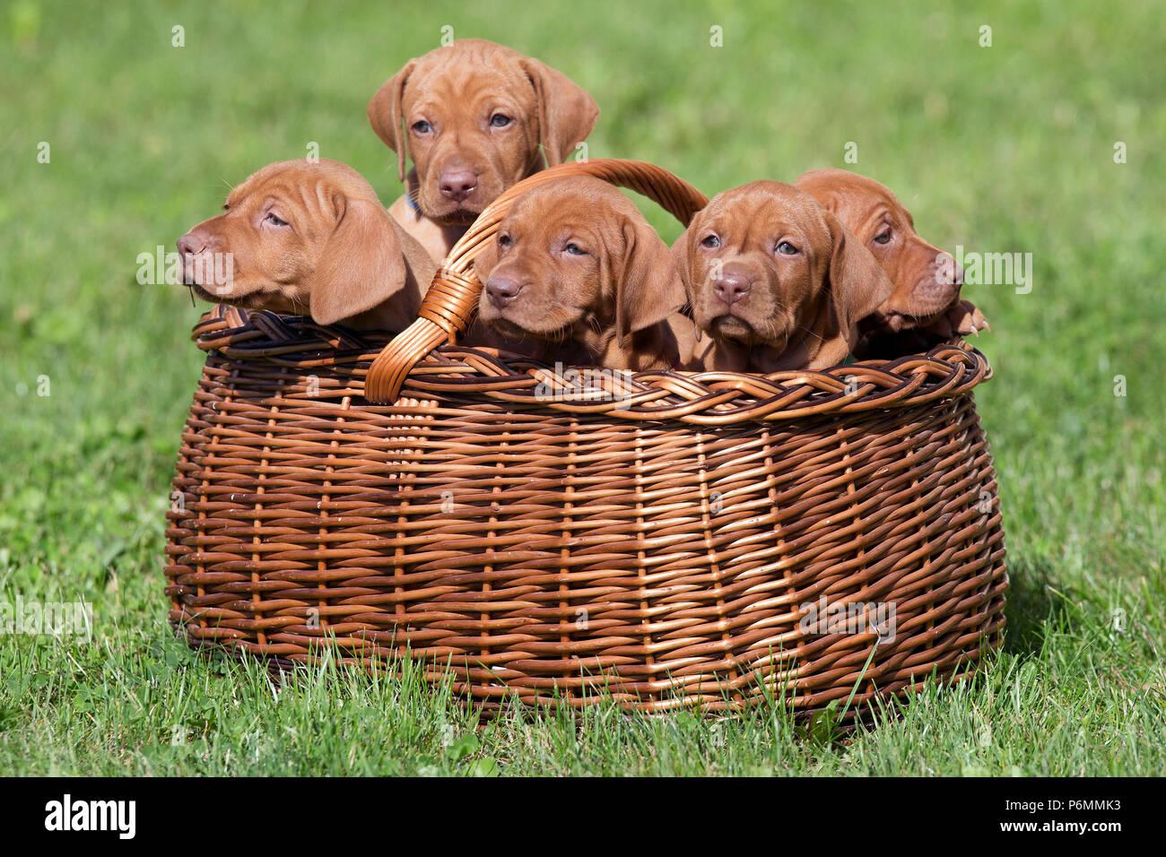 Neuenhagen, Germany, Magyar Vizsla Dog puppies are sitting in a bast basket - Stock Image