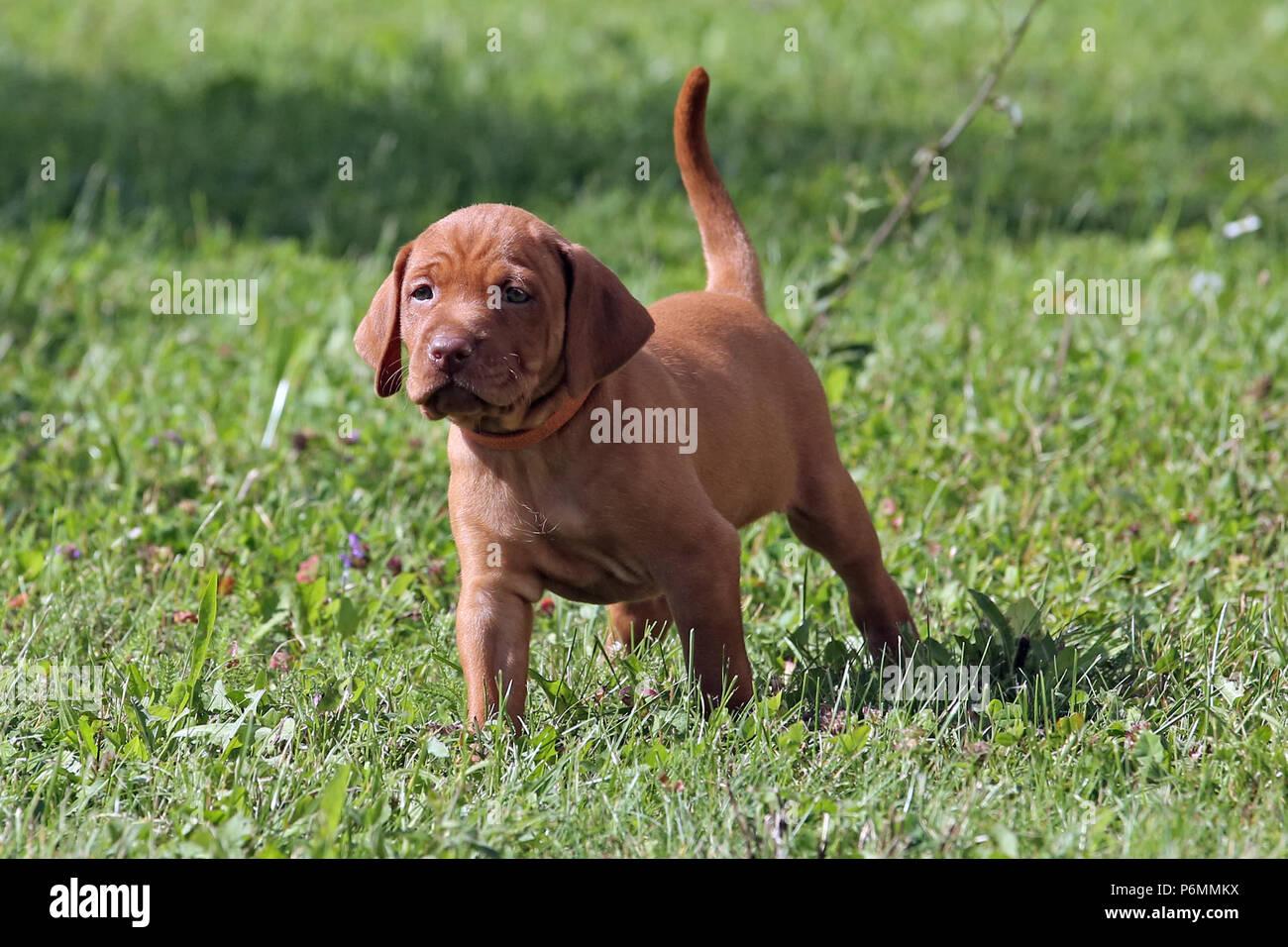 Neuenhagen, Germany, Magyar Vizsla Dog puppy - Stock Image