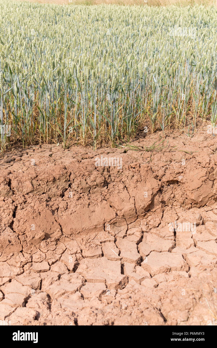 July 2018 summer drought in a wheat field, England, UK - Stock Image