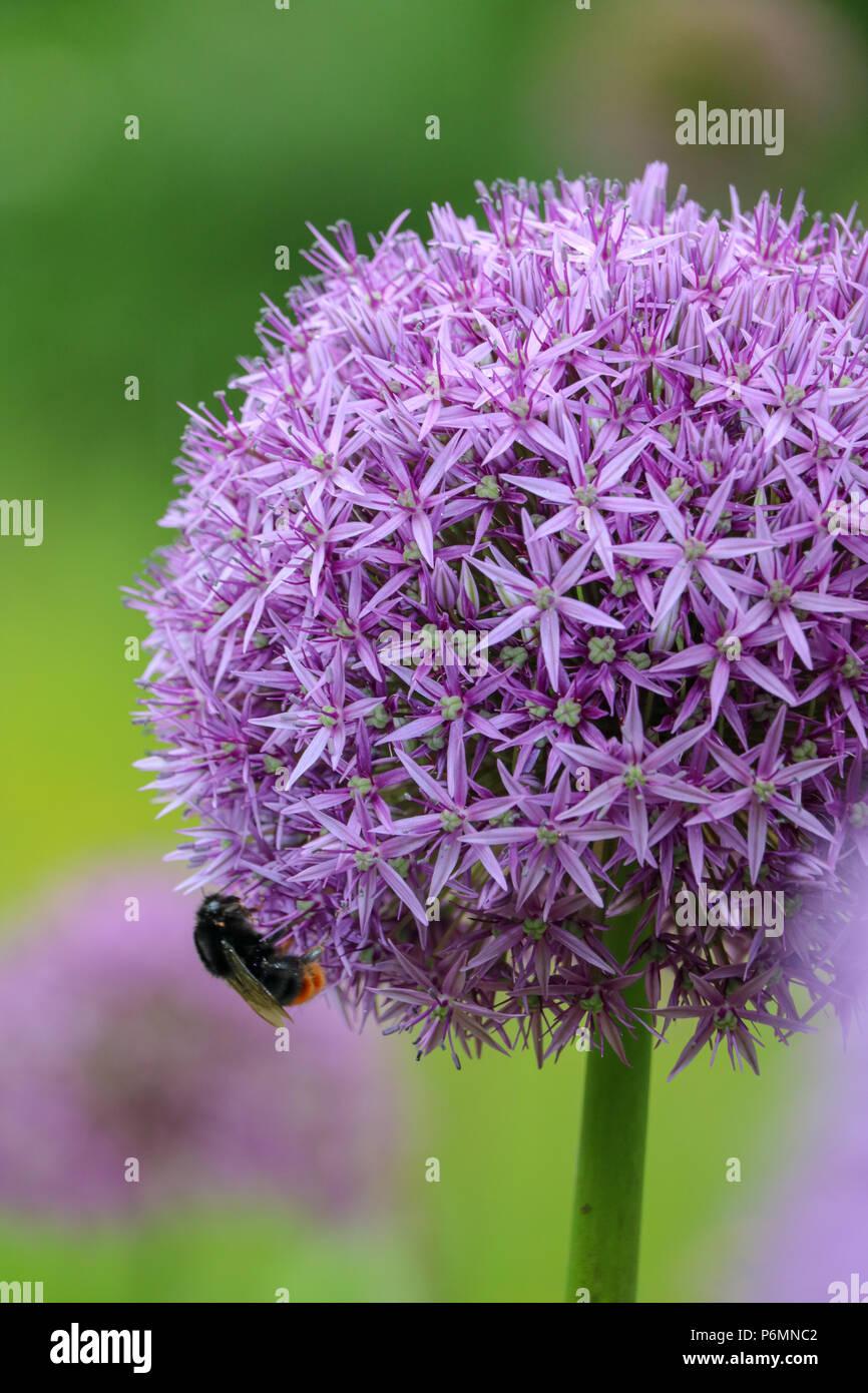 A single bumblebee feeds off the purple flowers of a head of Allium Hollandicum in a Devon field - Stock Image