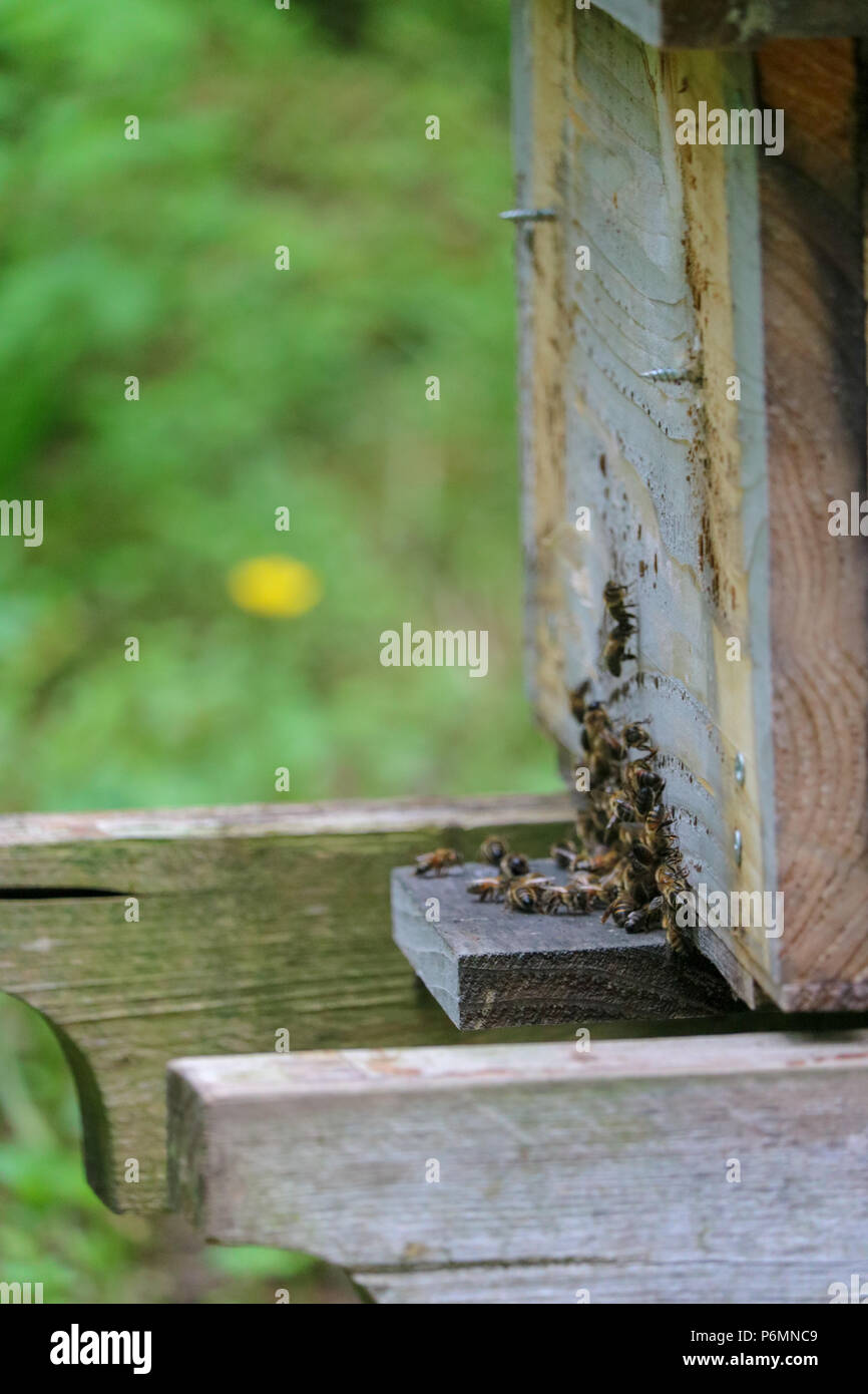 A close-up view of worker honeybees gathered around the entrance of a Top Bar beehive in a Devon field. - Stock Image