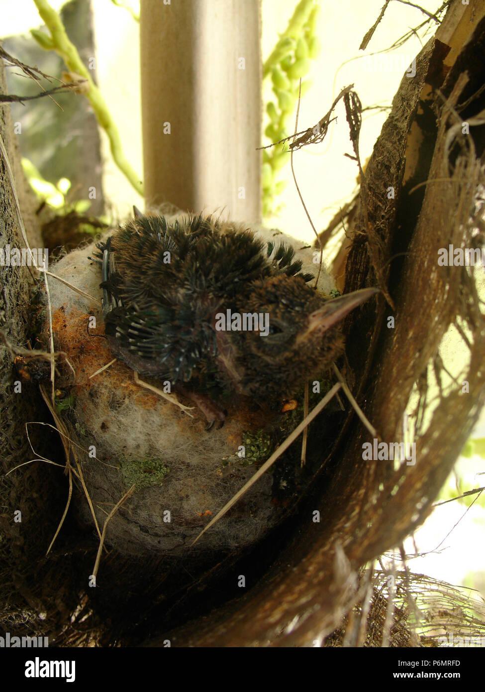 Hummingbird nest, bird, São Paulo, Brazil. - Stock Image