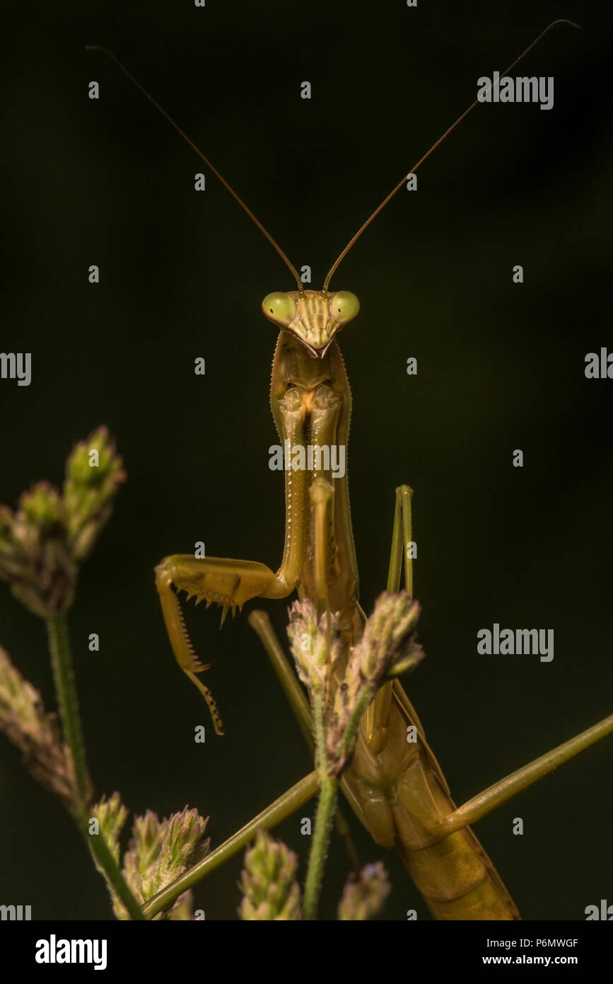 The Chinese mantis (Tenodera sinensis) is an introduced species in the USA, it is commonly used as a natural form of pest control. - Stock Image