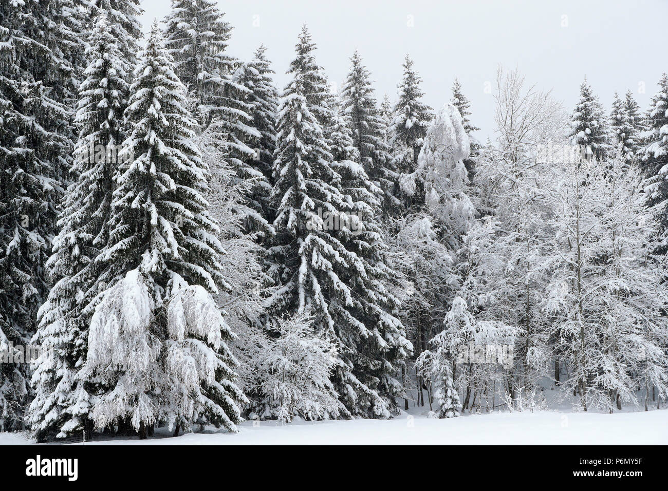 French Alps.  Snow covered fir trees in winter.  Saint-Gervais. France. - Stock Image