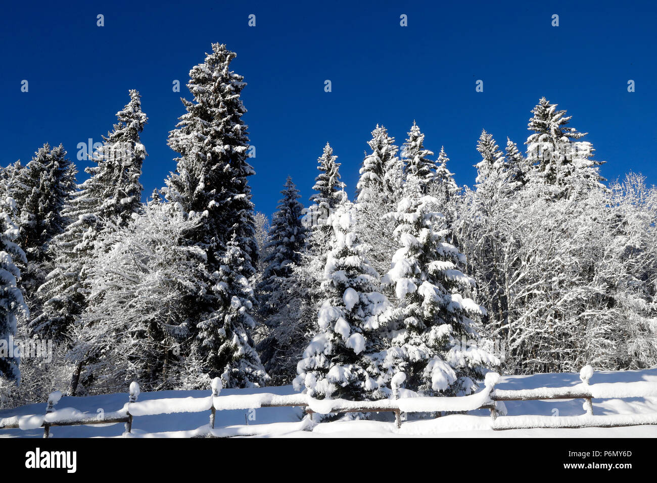 French Alps.  Snow covered fir trees in winter.  France. - Stock Image