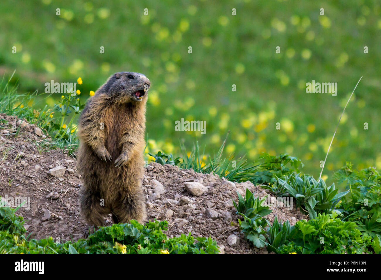 Marmot (groundhog) standing in alarm position and shouting Stock Photo