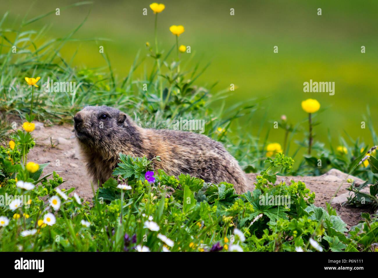 Curious groundhog (marmot, alpine marmot, woodchuck) looking on spring flower field in the European Alps of Liechtenstein - Stock Image
