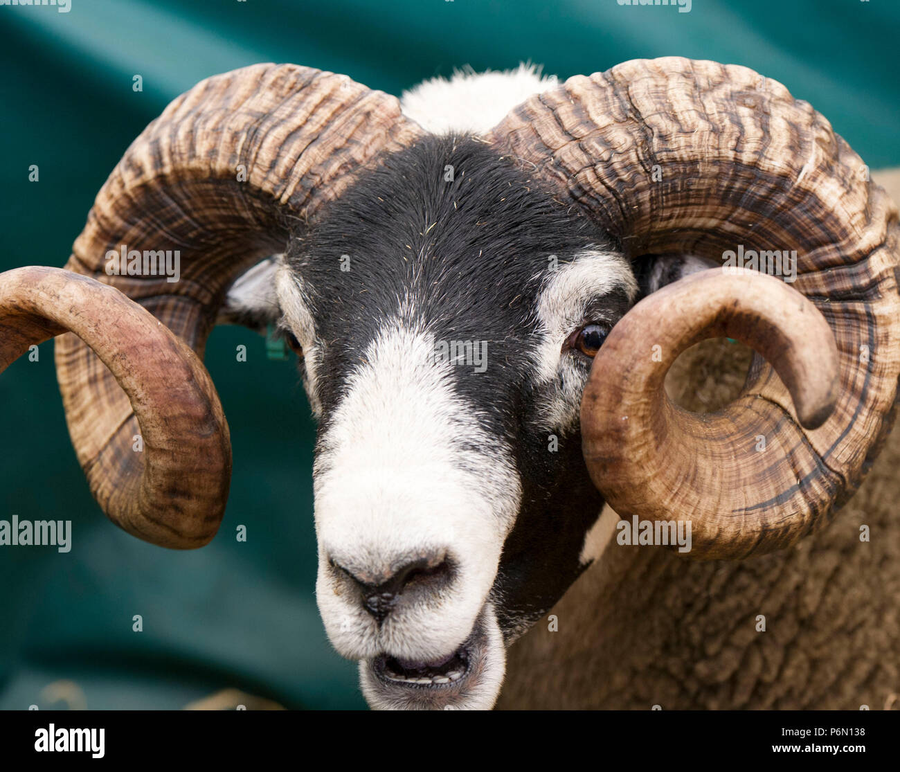 .RHS 2018: Portrait of a Blacface Ram at Royal Highland Show,Ingliston, Edinburgh, Scotland - Stock Image