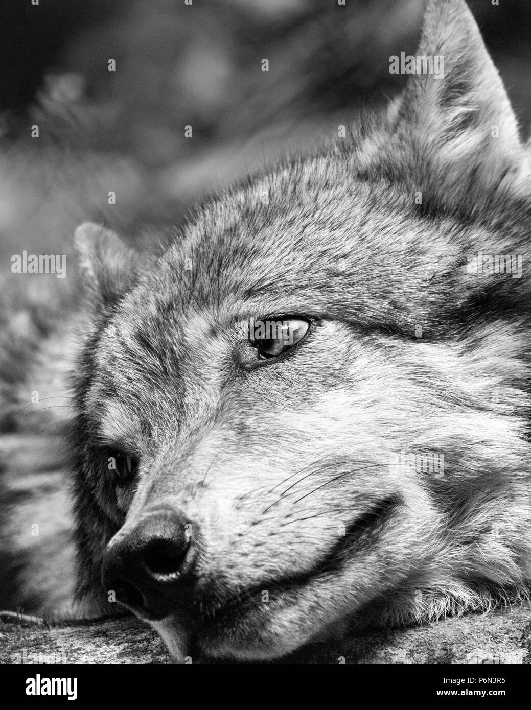 Wolf black and white stock photos images alamy