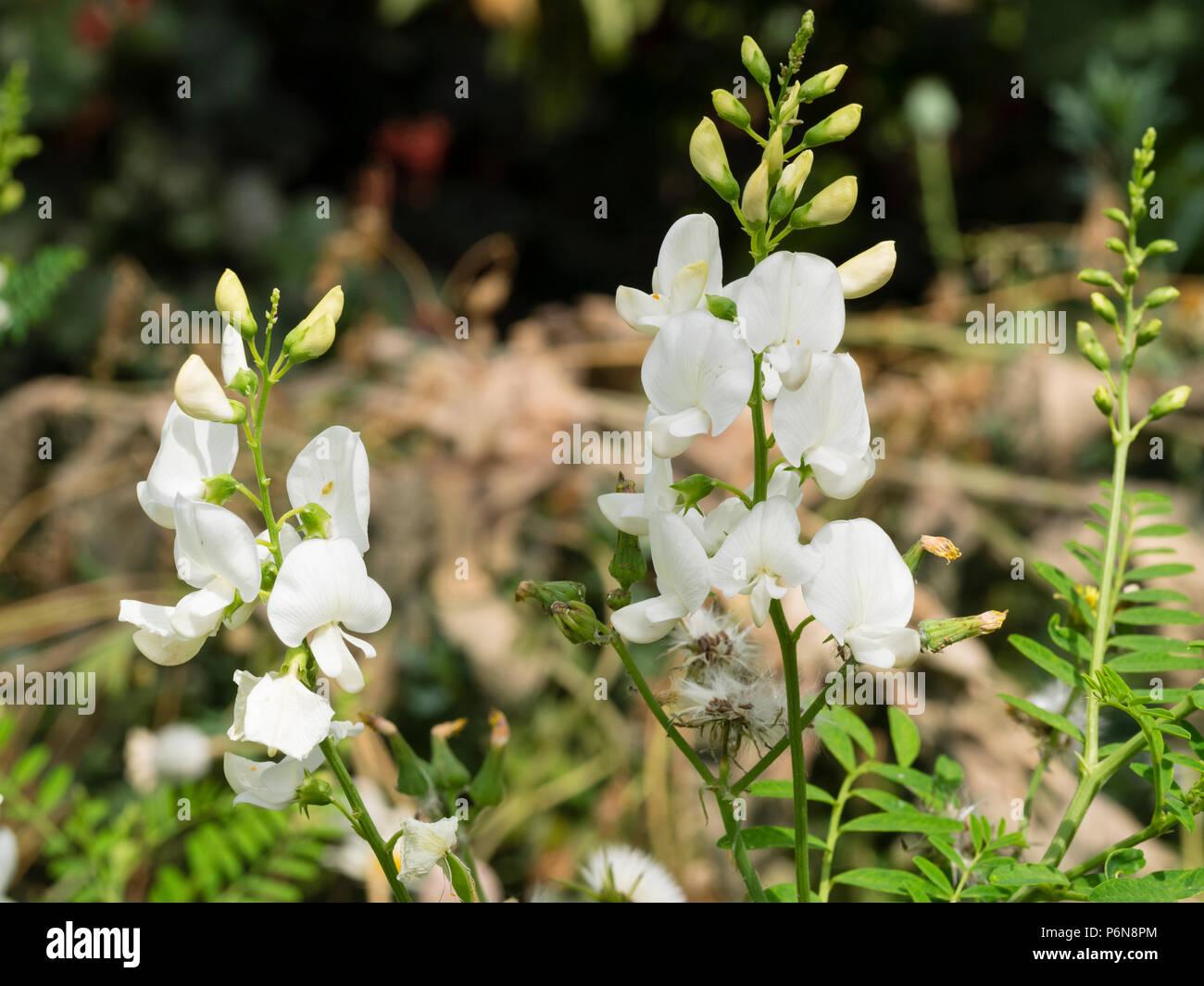 White pea flowers of the tender Australian perennial Darling pea, Swainsona galegifolia 'Alba' - Stock Image