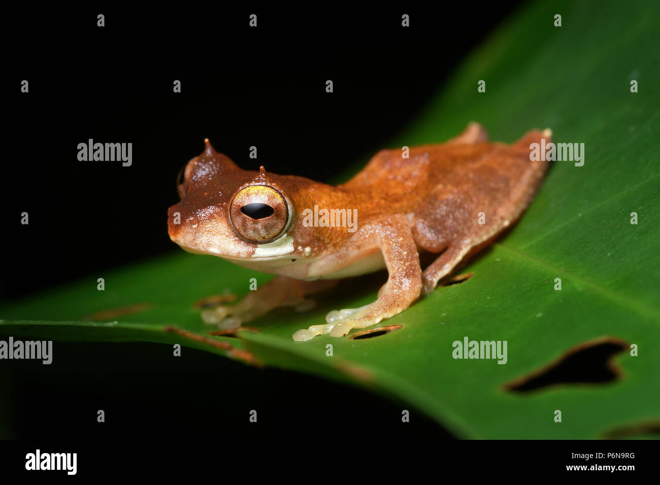 Short-nosed tree frog Rhacophorus gauni - Stock Image