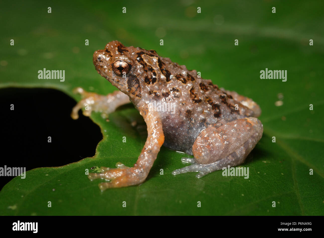 Bornean treehole frog Metaphrynella sundana - Stock Image