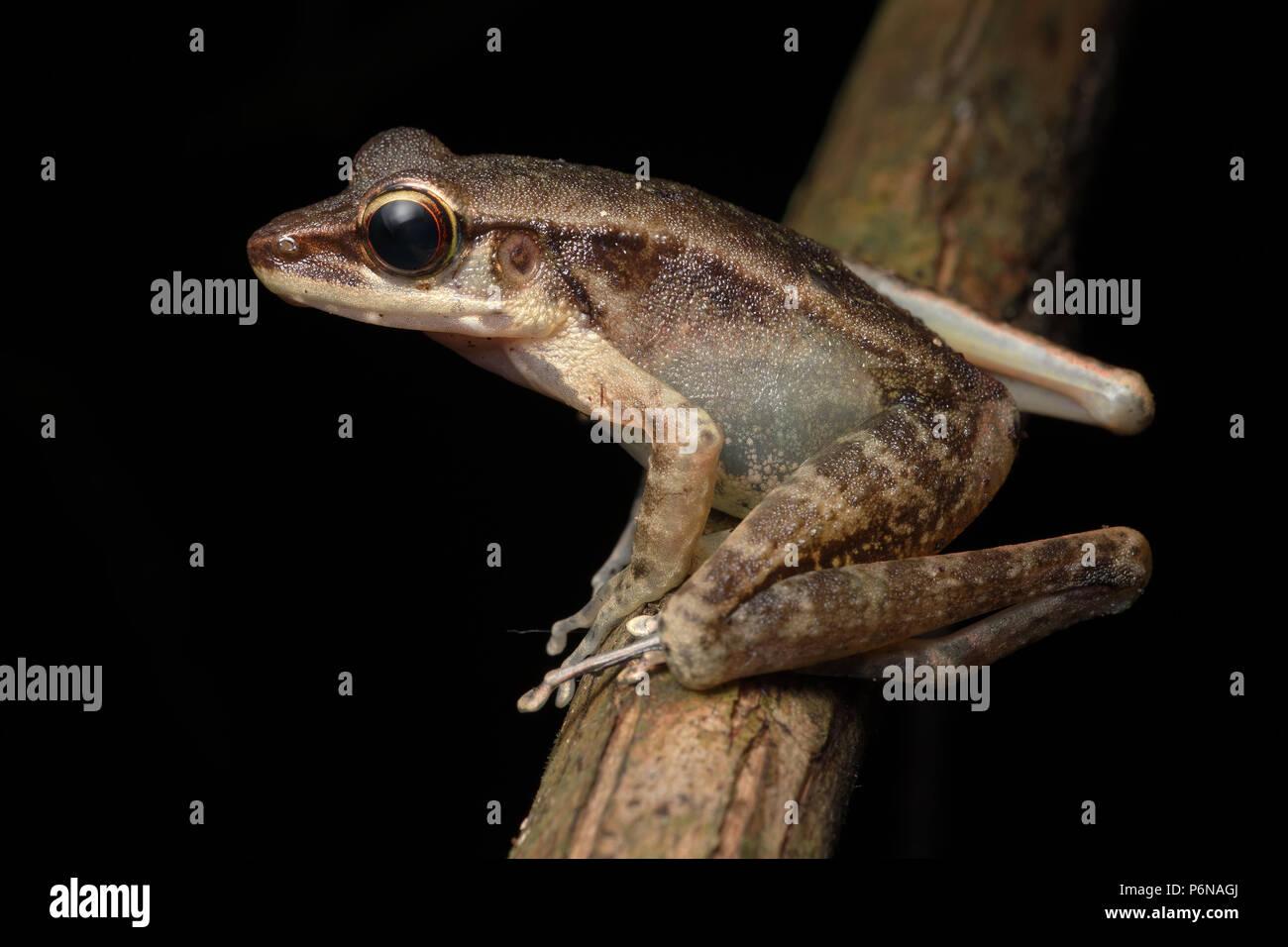 Northern torrent frog Meristogenys orphnocnemis - Stock Image