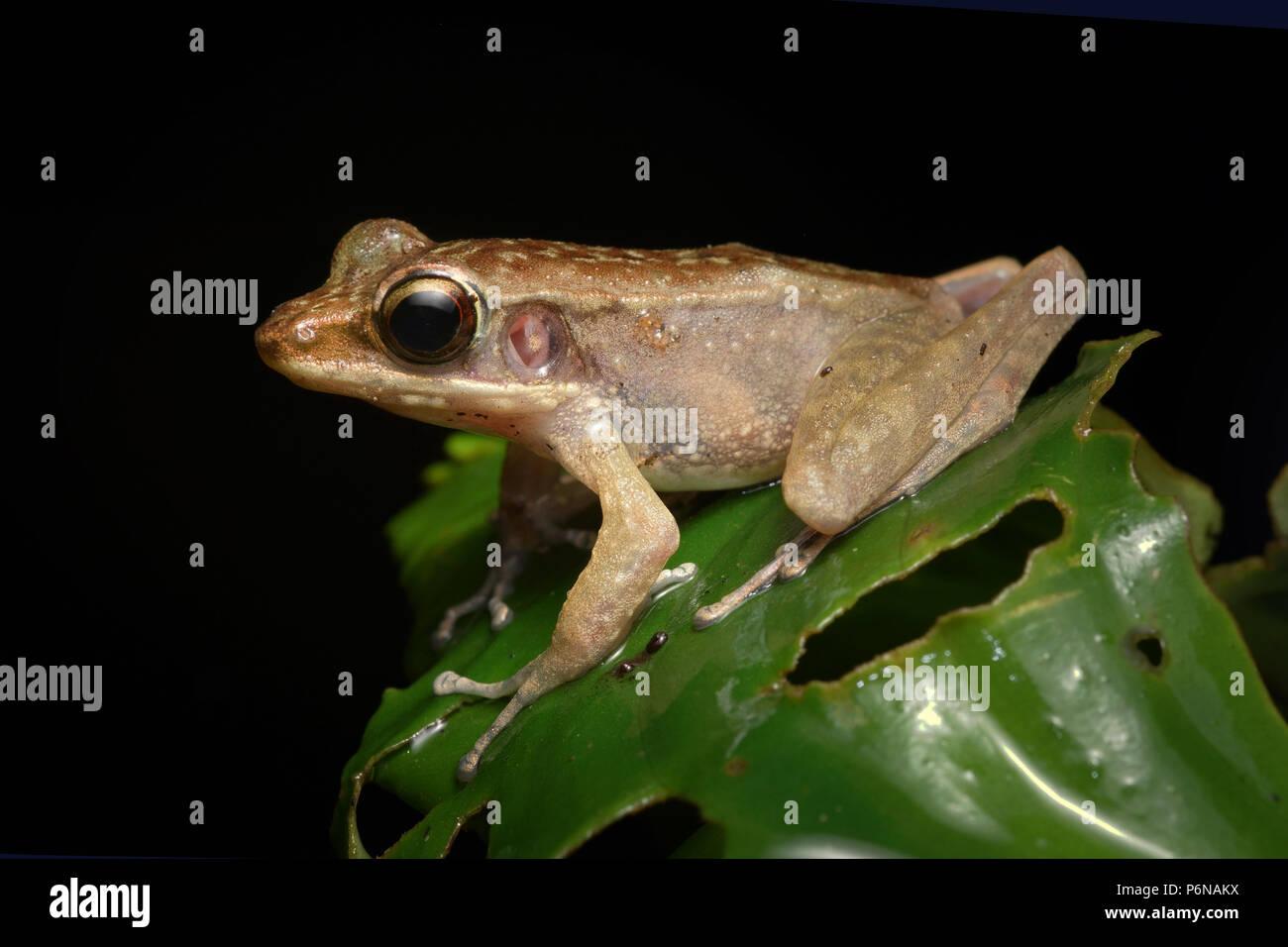 Montane torrent frog Meristogenys amoropalamus - Stock Image