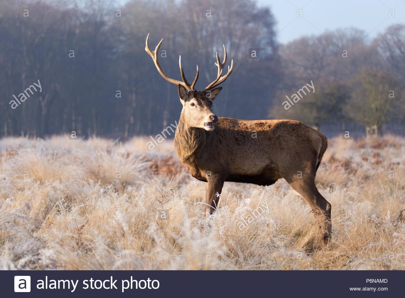 A magnificent Red Deer stag with impressive antlers begins to bellow early in the morning in a frost covered meadow in England, UK. Stock Photo