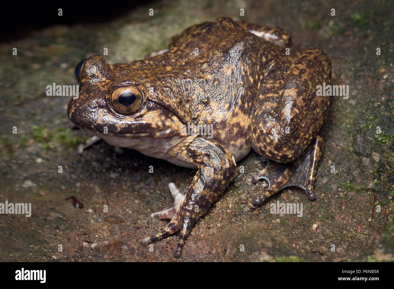Giant spiny frog Paa spinosa - Stock Image