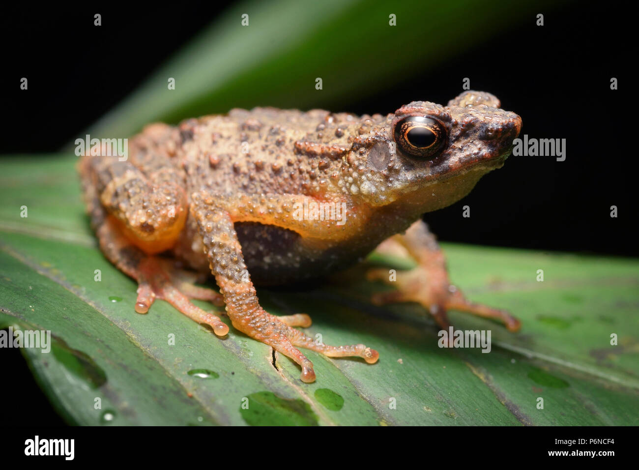 Kinabalu slender toad Ansonia hanitschi - Stock Image