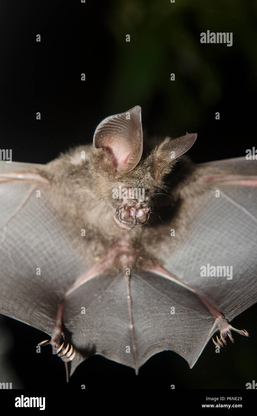 Bat in hand of researcher, Of research studies in the field. - Stock Image