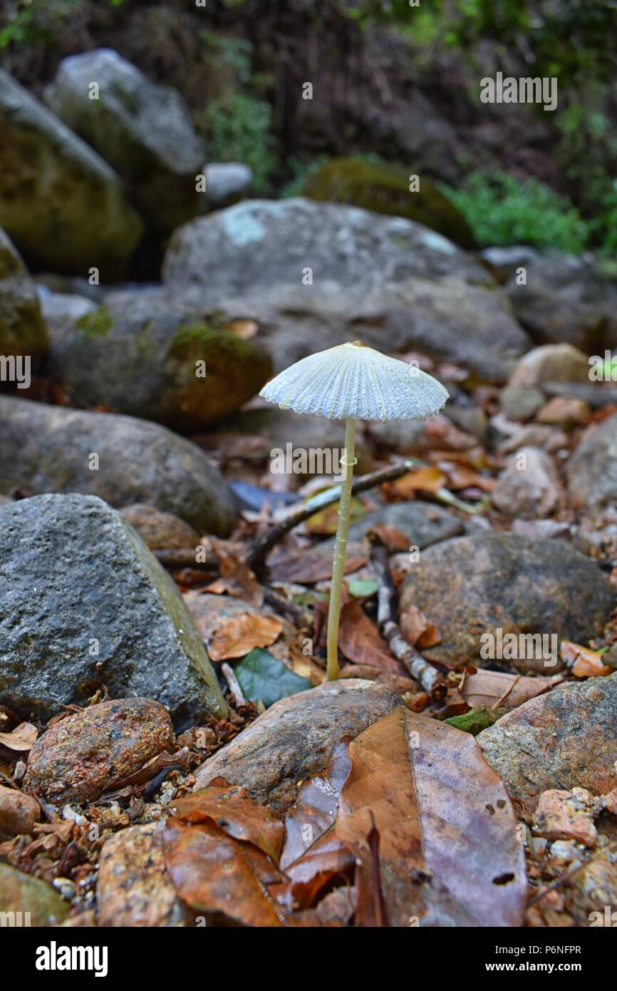 Close up macro detail of paper thin, white mushroom growing in tropical jungle forest in El Eden by Puerto Vallarta, Mexico. Stock Photo
