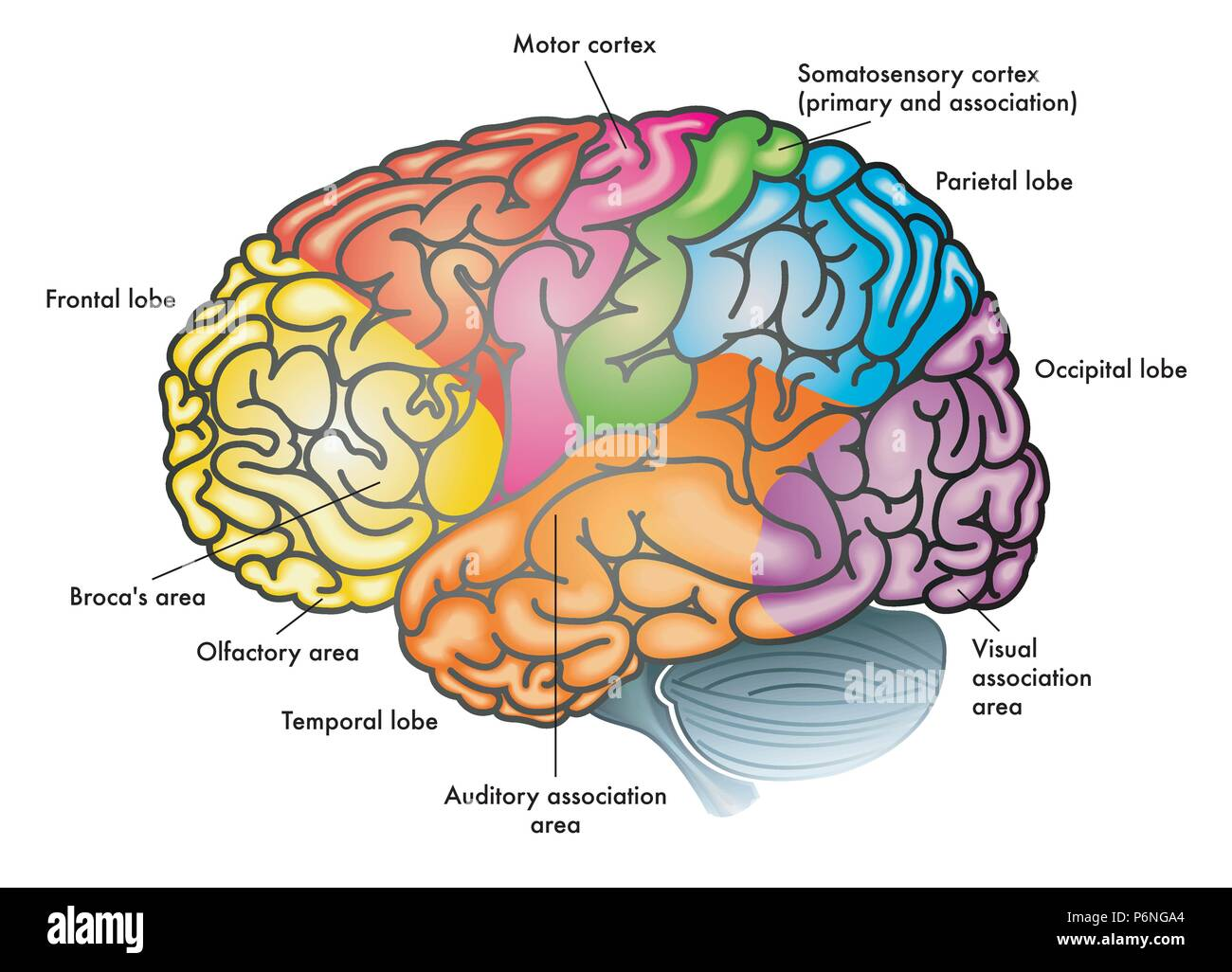 vector medical colorful illustration of a human brain with different functional areas highlighted with different colors - Stock Image
