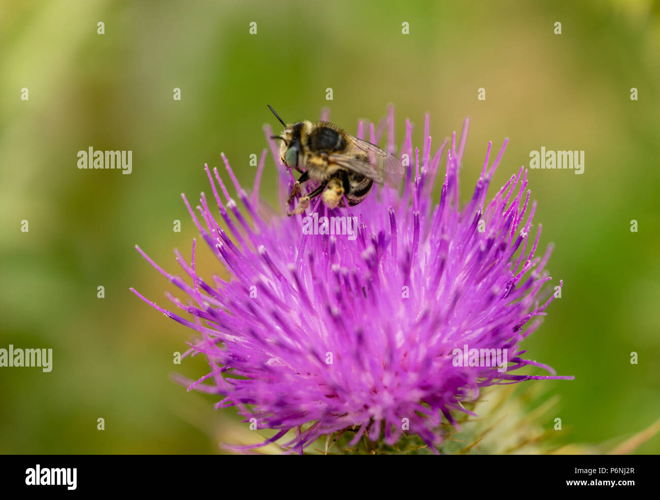 Macro/ close-up of a Western honey bee collecting pollen from a spear thistle flower - Stock Image