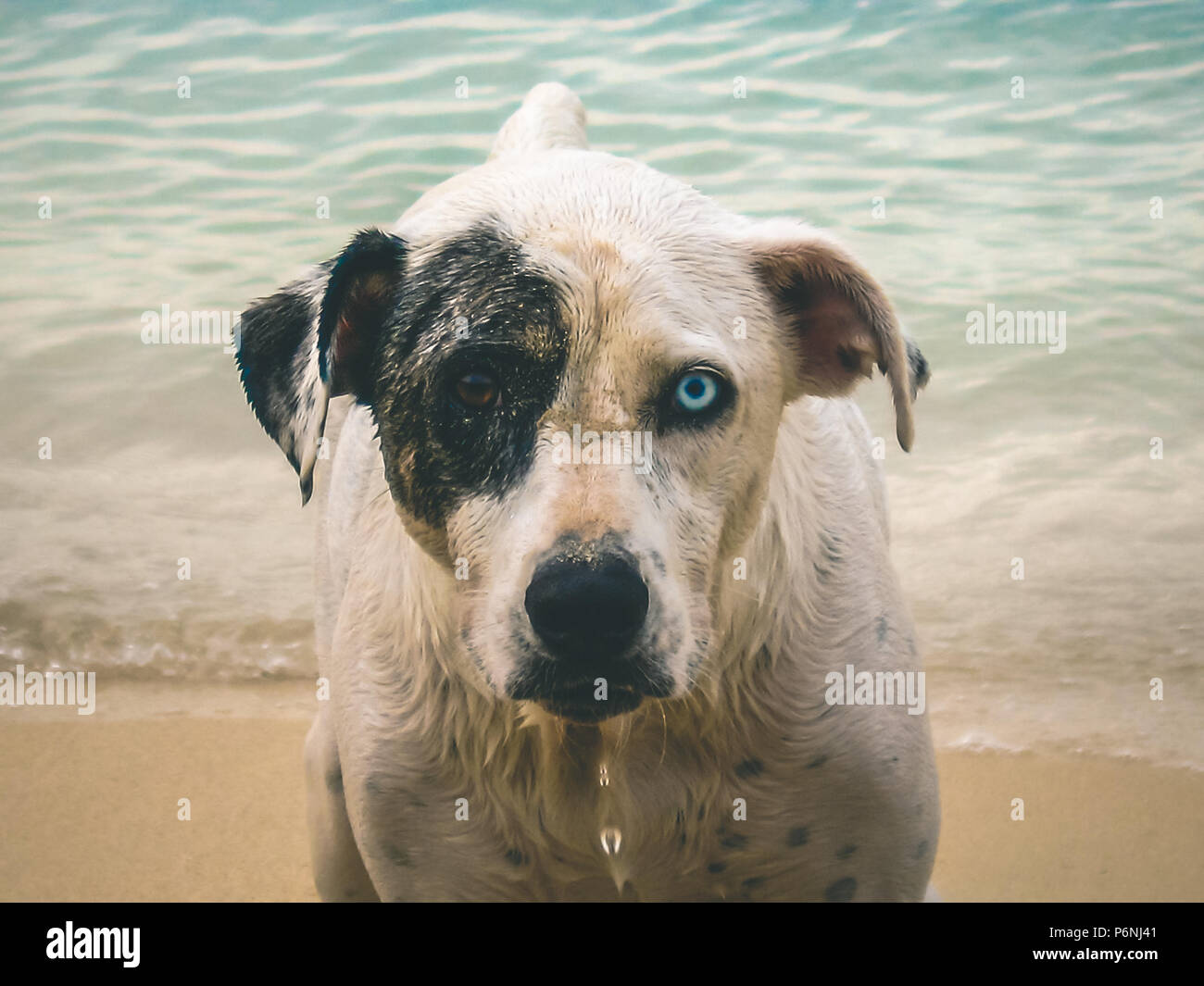 Close up of a dog's head with two different colored eyes on the beach. - Stock Image