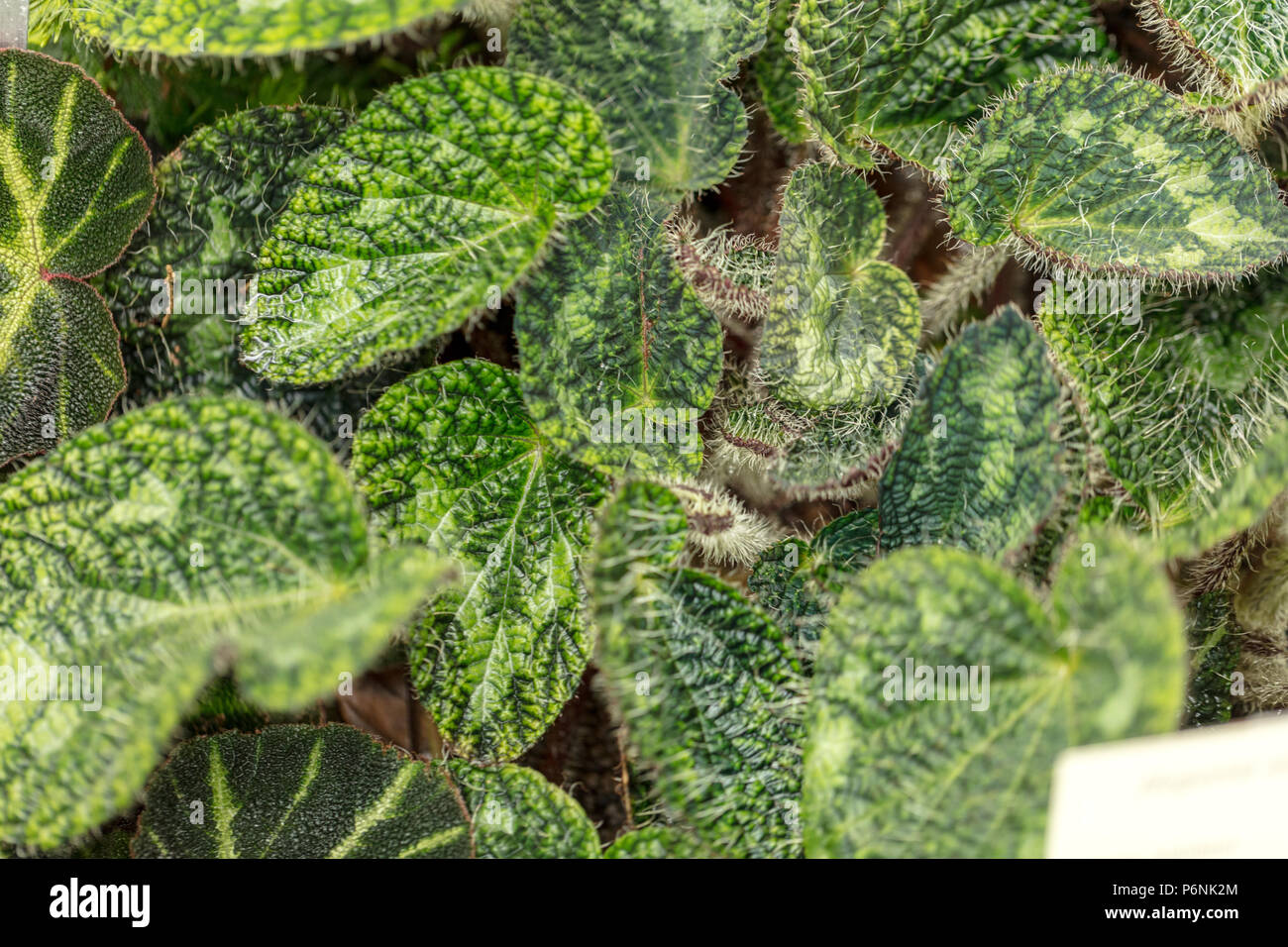 Begonia species, Begonia longiciliata (Begonia sizemoreae) - Stock Image