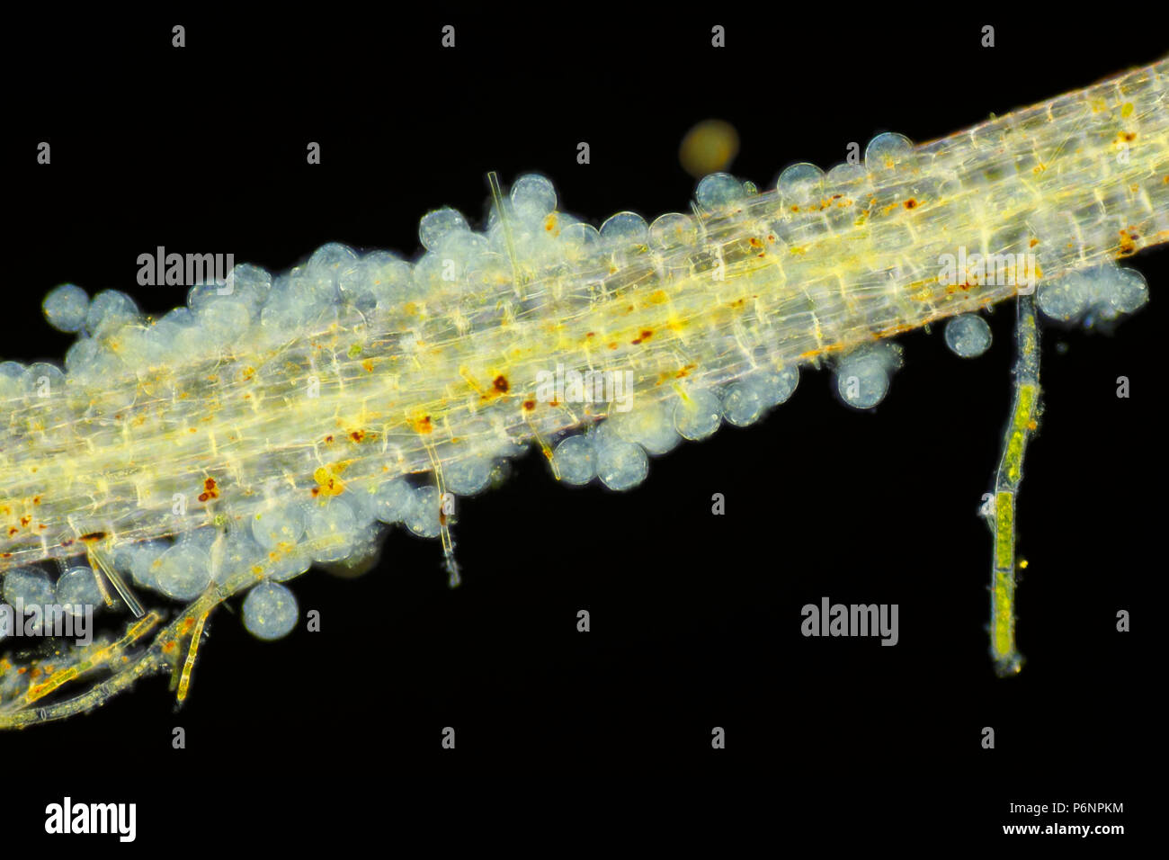 Microscopic view of unspecified eggs on Common duckweed (Lemna minor) root. Darkfield illumination. - Stock Image