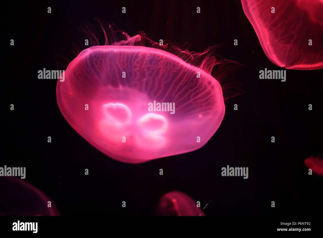 Many multi-colored jellyfish float under water macro shooting - Stock Image